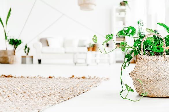 kleine Monsterapflanze in Korb im Wohnzimmer